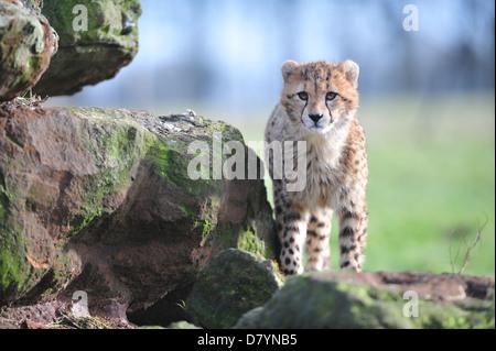 Ein junger Gepard (Acinonyx Jubatus) - Stockfoto