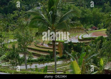 Indonesien, Bali, Reisfelder auf der Terrasse in der Nähe von Jatiluwith - Stockfoto