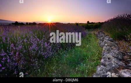 Lavendel-Feld bei Sonnenuntergang. Insel Hvar, Kroatien. - Stockfoto