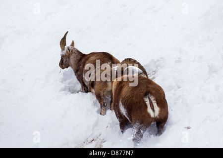 Alpensteinbock (Capra Ibex) männlichen folgenden Frau in der Hitze am Berghang im Tiefschnee im Winter während der - Stockfoto