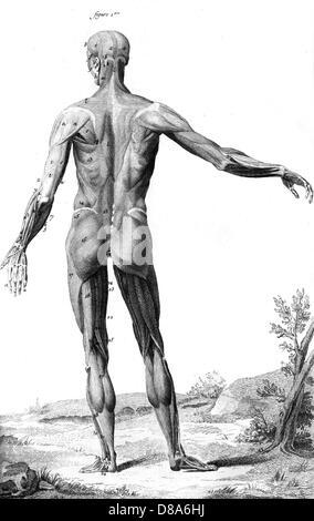 Muskeln Anatomie 18. C Stockfoto, Bild: 56773062 - Alamy