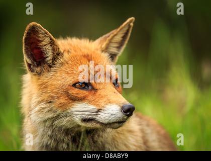 Red Fox (Vulpes vulpes), Toskana, Italien - Stockfoto