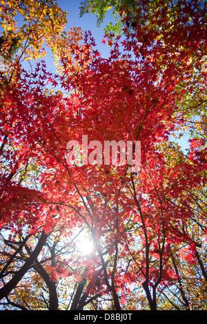 Bunten Blätter im Herbst vor einem blauen Himmel. Stockfoto