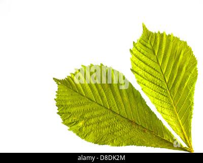 Anordnung von zwei frischen grünen Frühling Rosskastanie Blätter in Nahaufnahme Hintergrundbeleuchtung mit weißem - Stockfoto