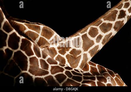 3 Somali Giraffen - Stockfoto