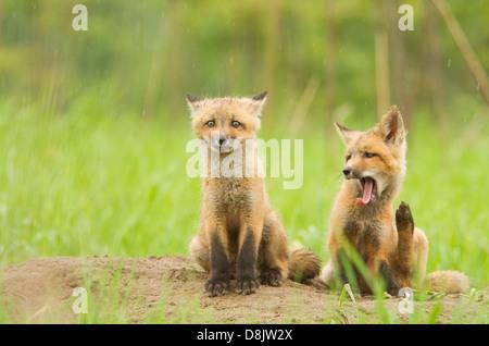 Rotfuchs (Vulpes Vulpes) jungen in den regnerischen Tag. - Stockfoto