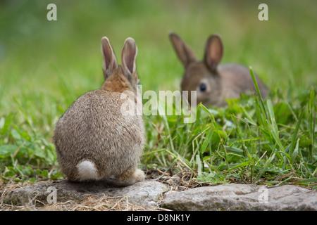 Ein paar junge Wildkaninchen in einem Feld Gras - Stockfoto