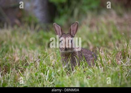 Eine junge Wildkaninchen in einem Feld Gras - Stockfoto