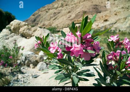Nahaufnahme von einem natürlichen wachsenden Nerium oleander - Stockfoto
