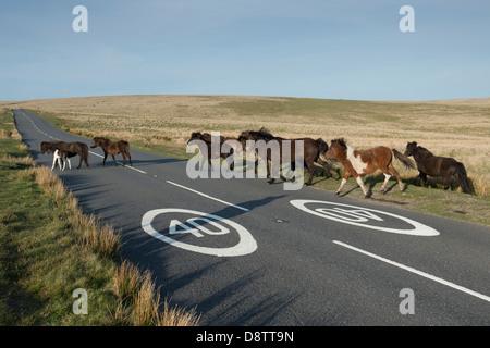Dartmoor Pferde beim Überqueren der Straße vor Verkehrszeichen 40 km/h. Dartmoor Nationalpark, Devon, England - Stockfoto