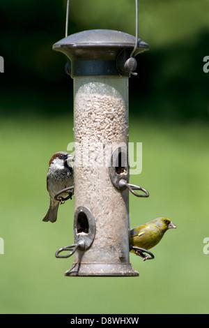 Haussperling und Grünfink Fütterung auf Sonnenblumen Herzen am Futterhäuschen mit Fokus-Hintergrund - Stockfoto