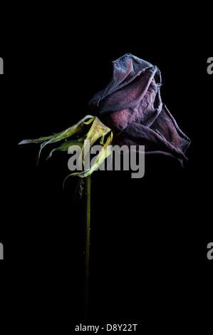 Getrocknete Rose auf schwarzem Hintergrund - Stockfoto