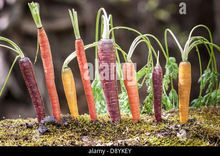 Lebhafte Reihe von Organic Rainbow Karotten in eine interessante und schöne Lage - Stockfoto