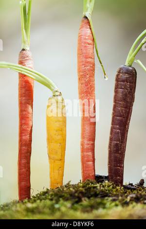 Lebhafte Reihe von Organic Rainbow Karotten in interessante und schöne Einstellungen - Stockfoto