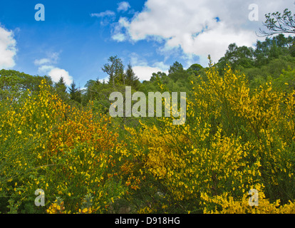 Blumen und STRÄUCHER von THE WILD wachsenden Besen [Cytisus Scoparius] - Stockfoto