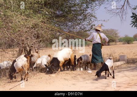 """Ein Mann mit der traditionellen """"Longyi"""" (a.k.a. Longhi) schlägt Büsche mit eine Holzstange, Blätter für seine Herde - Stockfoto"""
