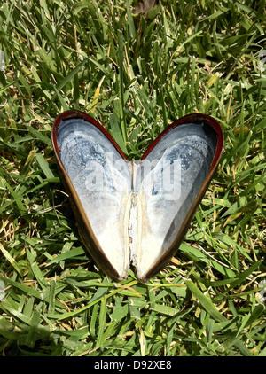 Einen leeren Muschelschale geöffnet und auszusehen wie ein Herz angeordnet - Stockfoto