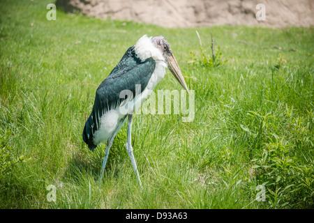 Marabou Storch allein zu Fuß in die hohe Gräser - Stockfoto