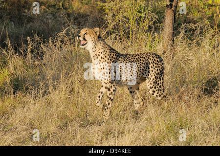 Gepard Acinonyx Jubatus Bilder aus dem Monat in Namibia - Stockfoto