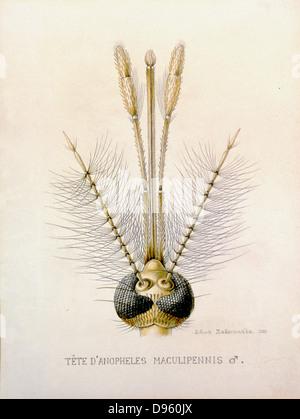 Mundwerkzeuge einer Mücke Stockfoto, Bild: 84972759 - Alamy