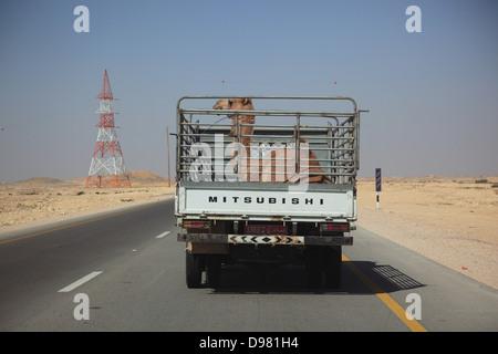 Transport von einem Kamel Fohlen mit LWK auf einsamen Straße im Bereich Ki-Wusta, Oman - Stockfoto