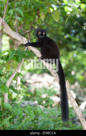 Männliche schwarze Lemur auf Ast - Stockfoto