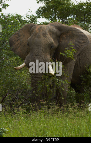 Elefant (Loxodonta Africana), neben Nata - Kasane Road, Botswana, Afrika - Stockfoto
