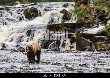 Junger Braunbär (Ursus Arctos) Angeln für Buckellachs bei Ebbe in Pavlof Hafen, Chichagof Island, südöstlichen Alaska, - Stockfoto