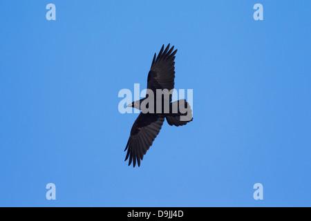 Gemeinsamen Raven / Northern Raven (Corvus Corax) Vogel im Flug - Stockfoto