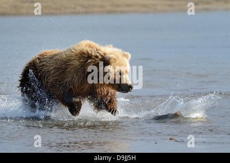Grizzly Bear auf Fische springen - Stockfoto