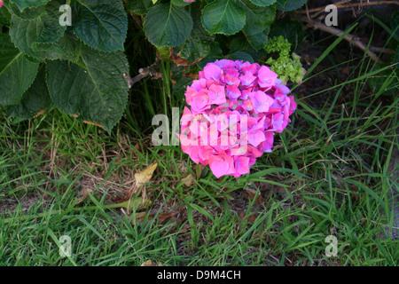 Hydrangea Macrophylla - Stockfoto