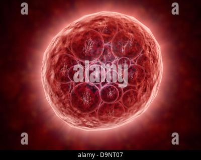 Cluster von Blastomeren bilden eine entwickelnde Morula (frühen Stadium der Embryonalentwicklung). - Stockfoto