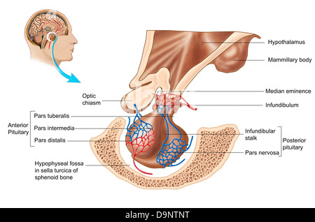 Anatomie der Hypophyse (Hirnanhangdrüse Stockfoto, Bild: 57643418 ...