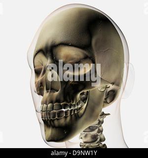 Drei dimensionale Ansicht des menschlichen Schädel und Zähne. - Stockfoto