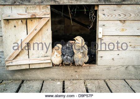Küken (drei Wochen alten Küken) sitzen am Eingang des Hühnerstall - Stockfoto