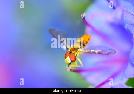 Hoverfly thront auf einer Blume, die Pollen zu sammeln. - Stockfoto