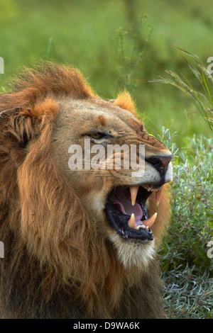 Männlicher Löwe (Panthera Leo), Krüger Nationalpark, Südafrika