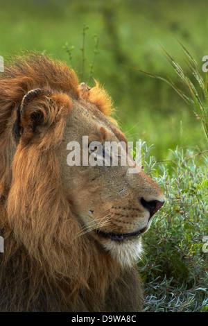 Männlicher Löwe (Panthera Leo), Krüger Nationalpark, Südafrika - Stockfoto