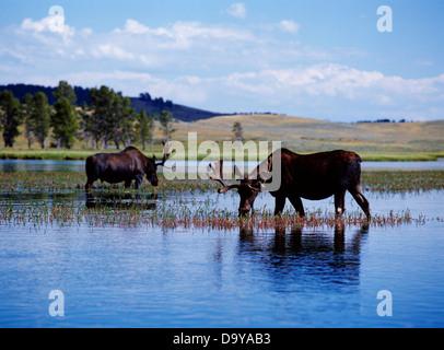 USA, Wyoming, Yellowstone-Nationalpark, Hayden Valley, zwei Stier Elch Fütterung in den Yellowstone River - Stockfoto