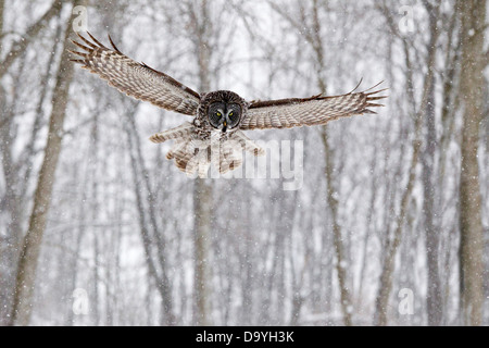 Großen grau-Eule (Strix Nebulosa) mit Flügeln und Heck abgefackelt Jagd bei fallenden Schnee mit Wald-Hintergrund - Stockfoto