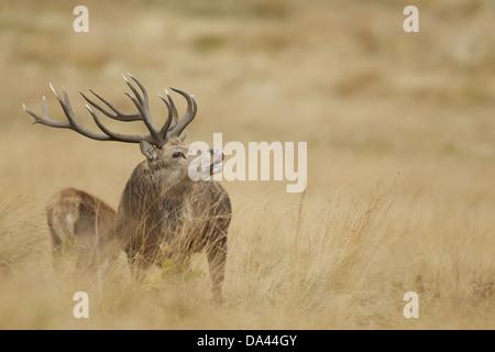 Rothirsch (Cervus Elaphus) Reife Hirsch in Flehmen Beduftung in der Nähe Hind während der Brunftzeit Saison Bradgate - Stockfoto