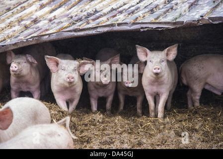 Hausschwein, Mast Absetzferkel Gruppe stehen auf Stroh Hof mit Blechdach, Rotherham, South Yorkshire, England, Februar - Stockfoto