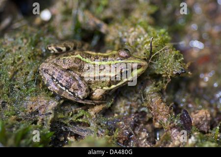 Ein Seefrosch (außer Ridibundus) im Krka Nationalpark in Sibenik, Dalmatien, Kroatien. - Stockfoto