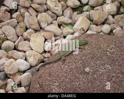 Eine nördliche italienische Mauereidechse (Podarcis Siculus Campestris) sonnen sich in einen Steingarten in Nationalpark - Stockfoto