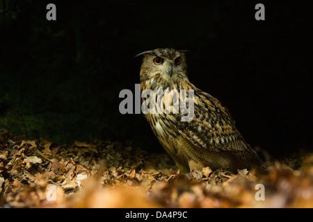 Eurasische Uhu (Bubo Bubo) auf einem Waldboden in der Nacht - Stockfoto