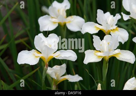 Iris Sibirica 'White Swirl' - Stockfoto