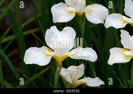 """Iris """"Weißen Wirbel"""" - Stockfoto"""