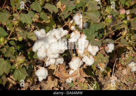 Baumwolle, Ernte, Ernte, Afrika, Landwirtschaft, Äthiopien, - Stockfoto