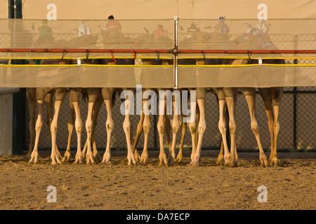 Kamel Beine an der Start-up von einem Kamelrennen - Stockfoto