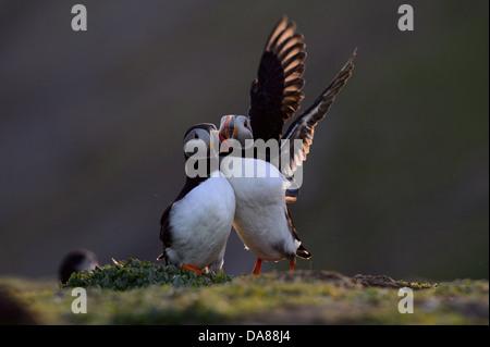 Anzeigen paar Papageientaucher - Stockfoto